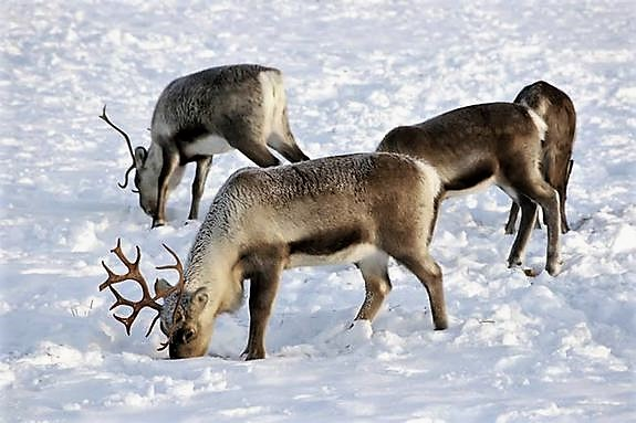 Food sources become scarce as the warmer temperatures create an ice rink effect, blocking the reindeers winter food supply pc Live Science