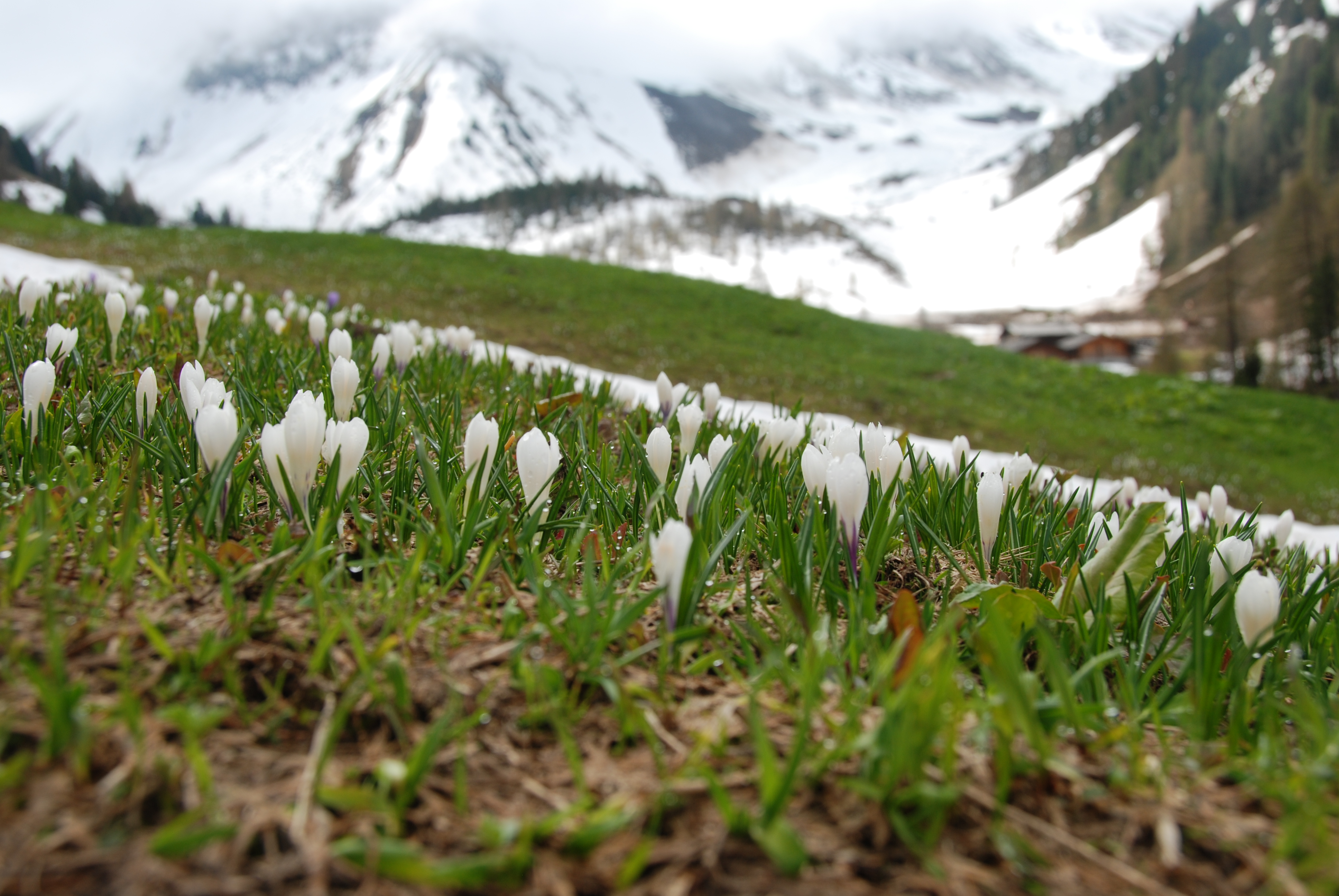 Springtime is coming earlier to the Swiss Alps. Photo: WSF