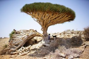Dragon Blood Trees are something to behold.