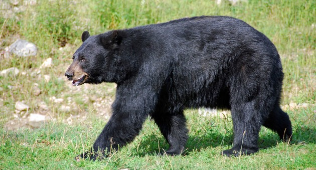 Black Bear Kills 17 Year Old Boy During Race In Anchorage