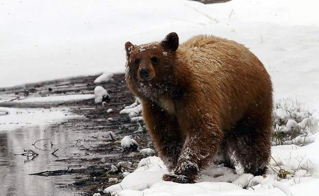 black bear, bear, tahoe, california, snow, sierra nevada