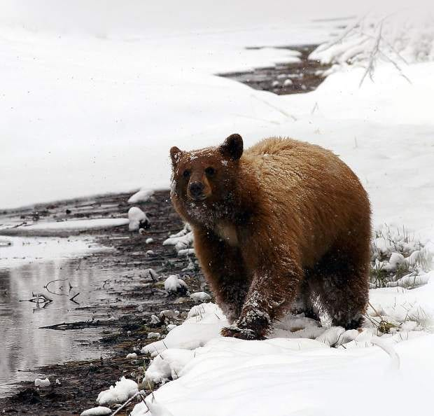 Not all Bears Hibernate During the Winter | Recent Black