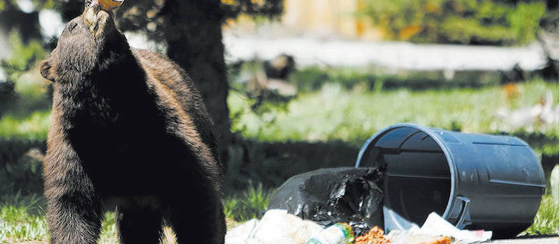 Tahoe bear chug