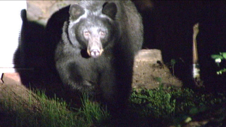 bear, black bear, colorado, attacks girl