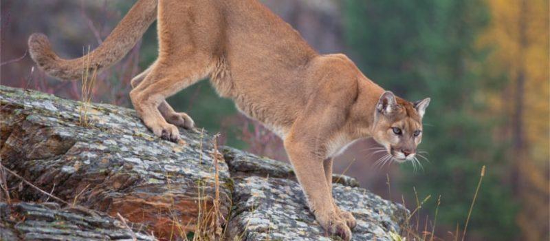 cougar, snoqualmie, Washington