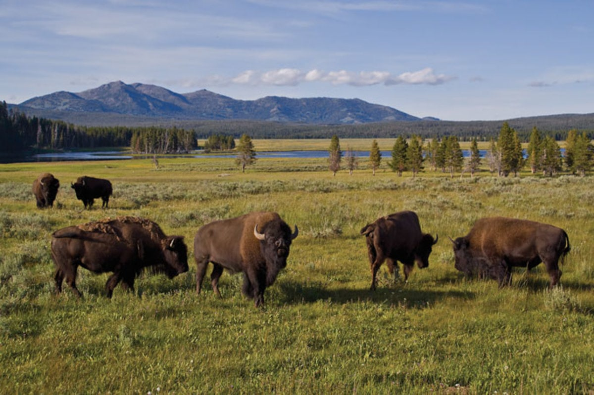 Yellowstone, national park, bison