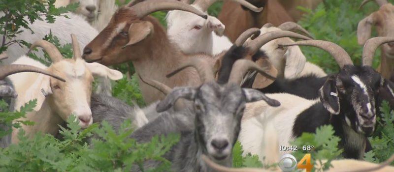 herd, goats. wildfire, california