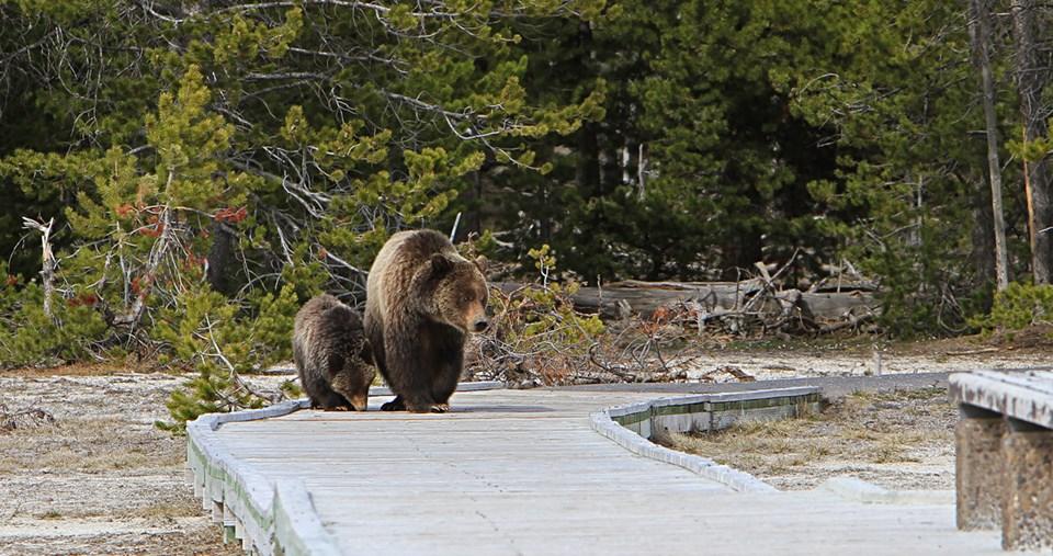 Yellowstone Boardwalk Bears