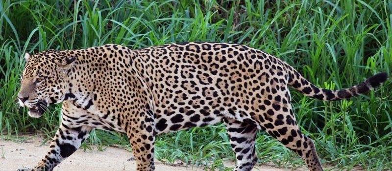 jaguar, escapes zoo
