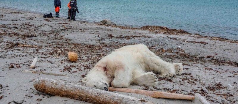 polar bear, shot, Svalbard