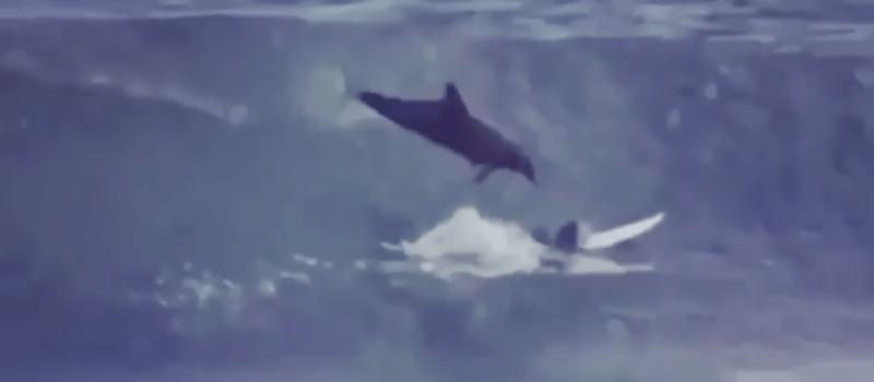 dolphin, surf
