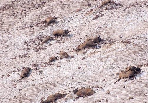 elk, dead, avalanche, oregon