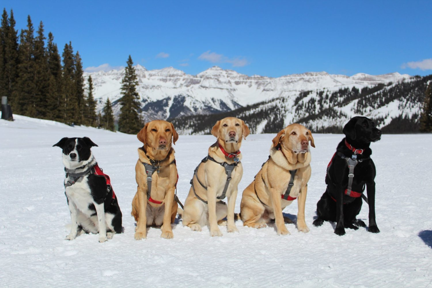 Avalanche Dog Video Vail