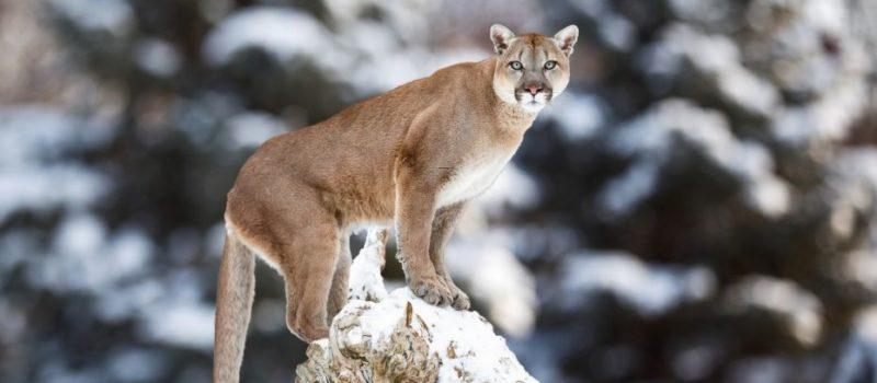 cougar, Banff