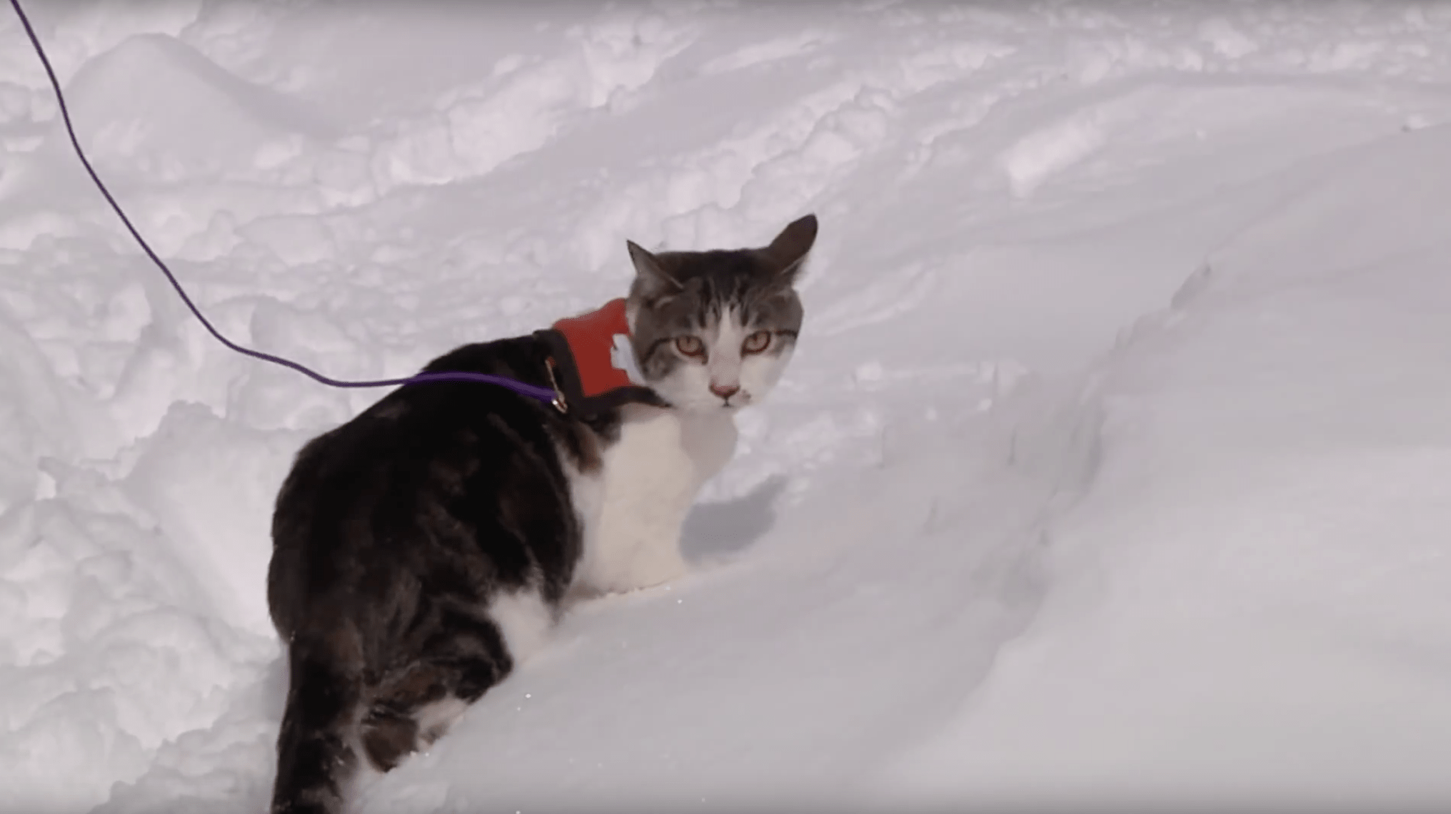 canadian, cat, avalanche, rescue, Friday fun