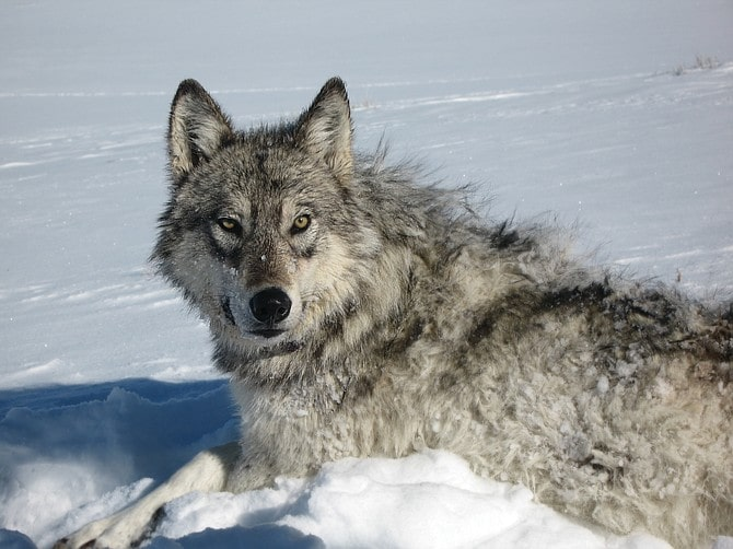wolves, wolf, colorado