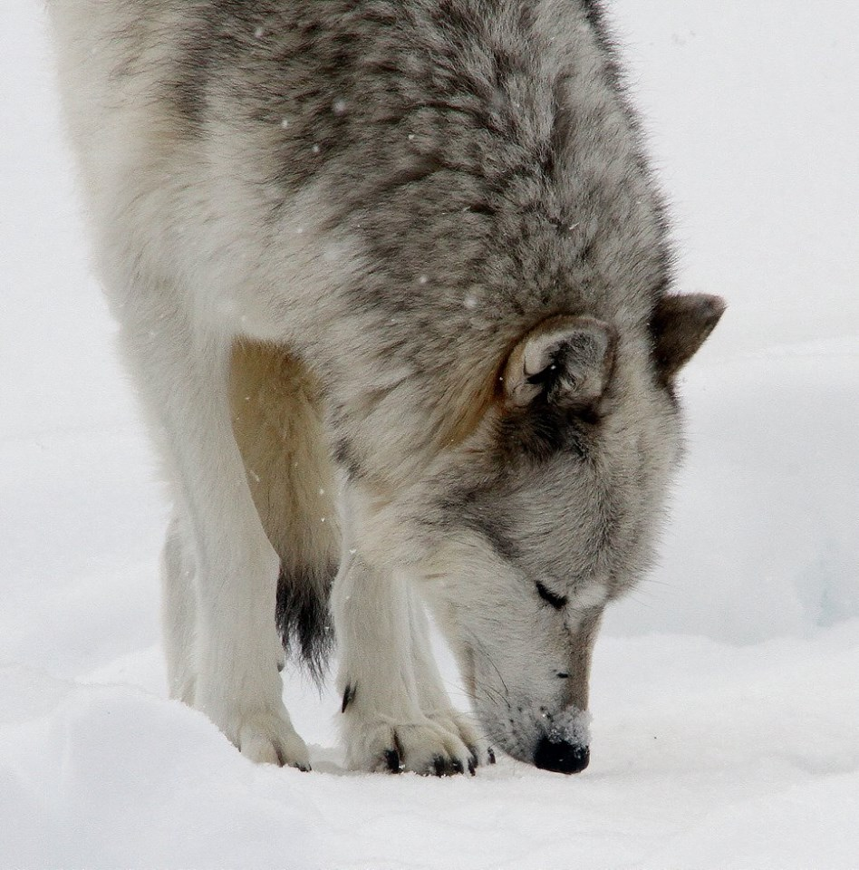 A Wolf Pack Has Just Been Sighted In Colorado For The