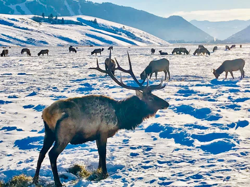 Elk Photo Near Jackson Ski Resort, National Elk Refuge, Elk near ski resort, Elk by jackson hole, jackson hole