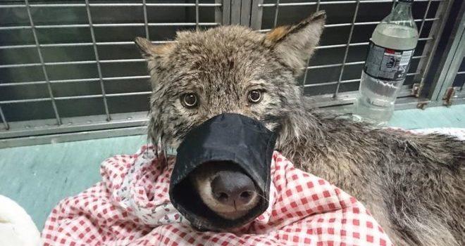 wolf, rescued, estonia