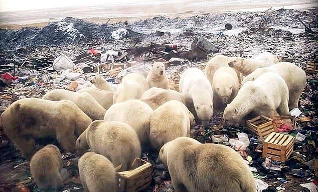 polar bears, invade, russia
