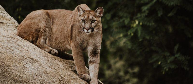 california, mountain lion, attack, colorado