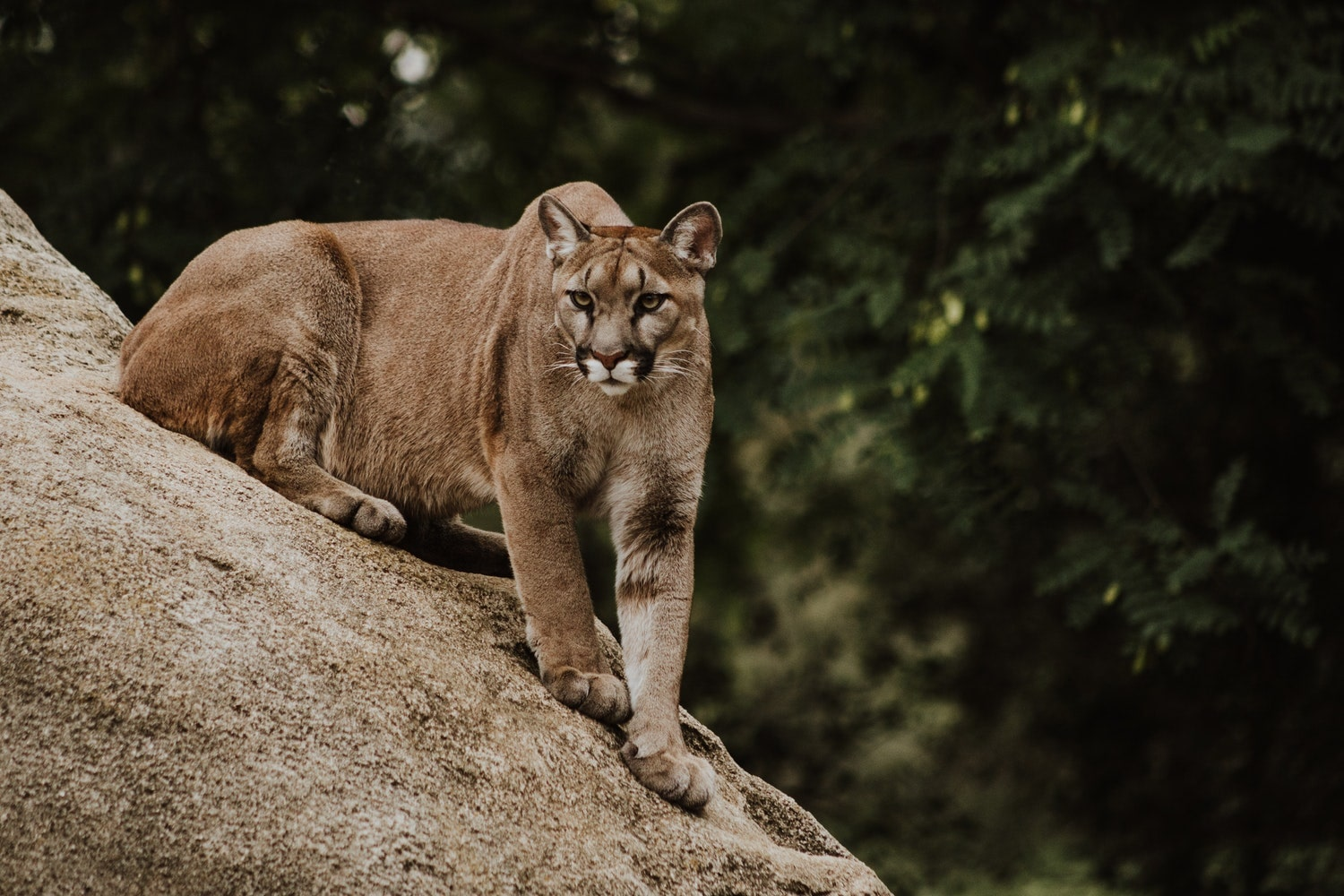 c0e457313 Colorado Man Killed Mountain Lion with Bare Hands When He was ...