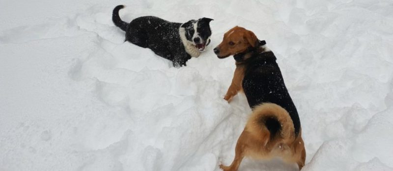 dogs, survived, alps