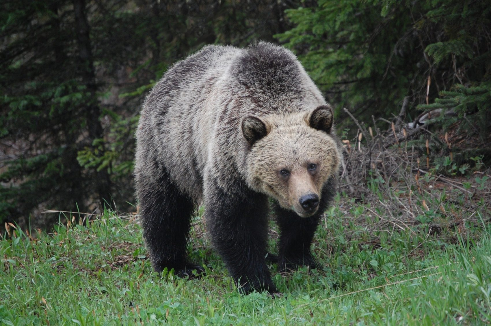 grizzly, bear attack