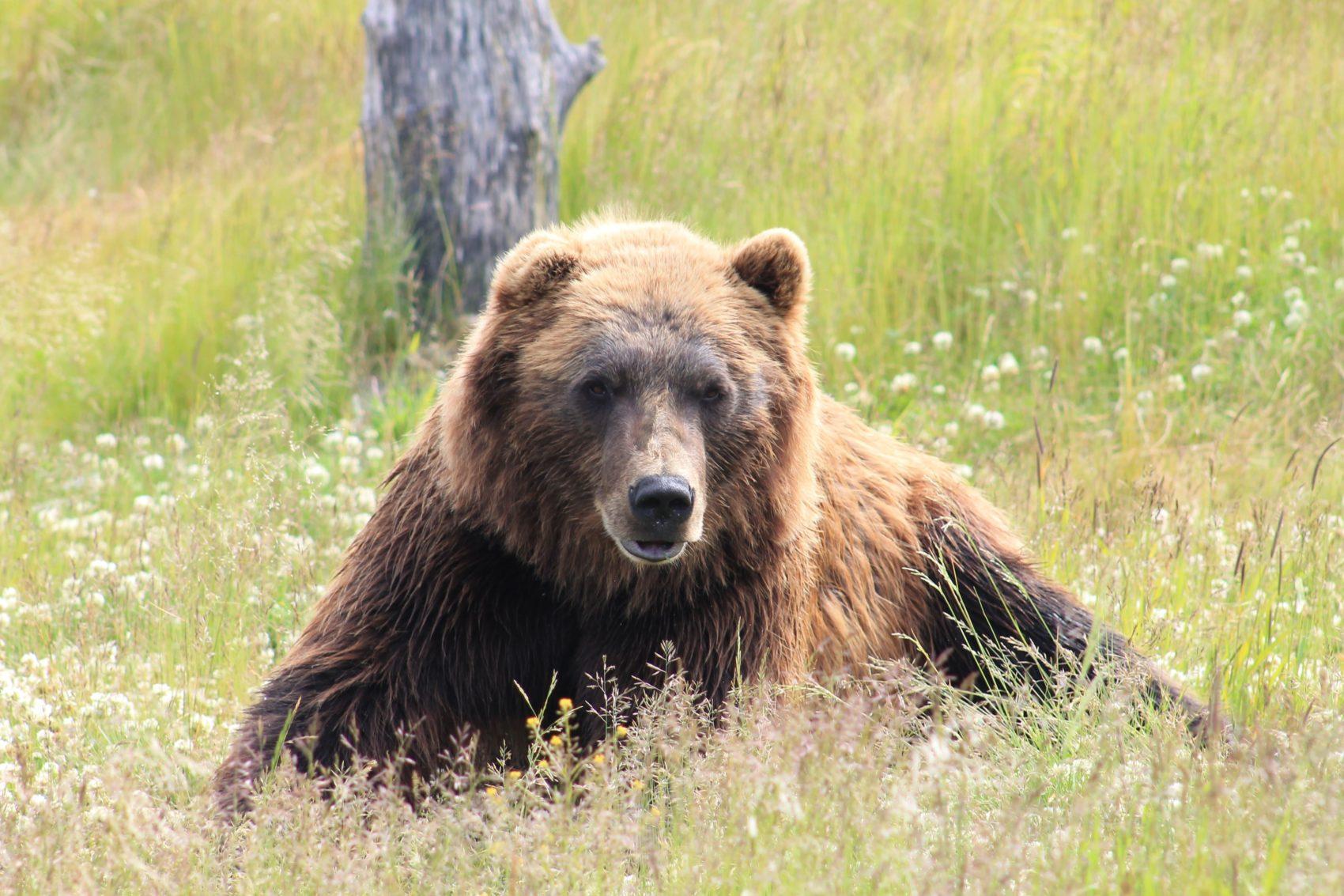 brown bear, bear, Russia,
