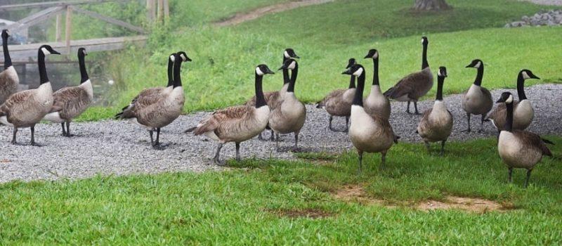 geese, culled, Denver, colorado
