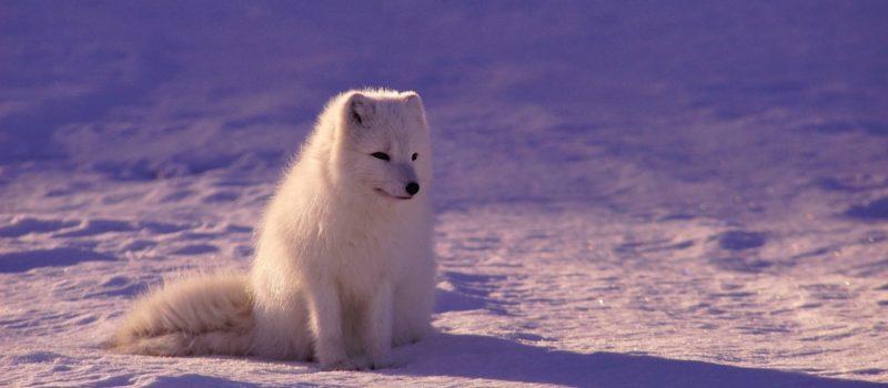 arctic, fox, arctic fox, journey, Canada, Norway, Svalbard