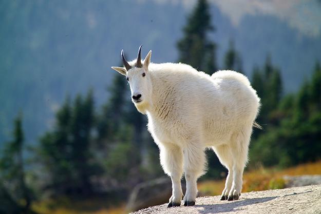 wasatch goat
