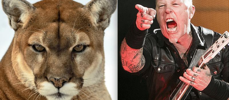 metallica, James Hetfield, cougar, canada