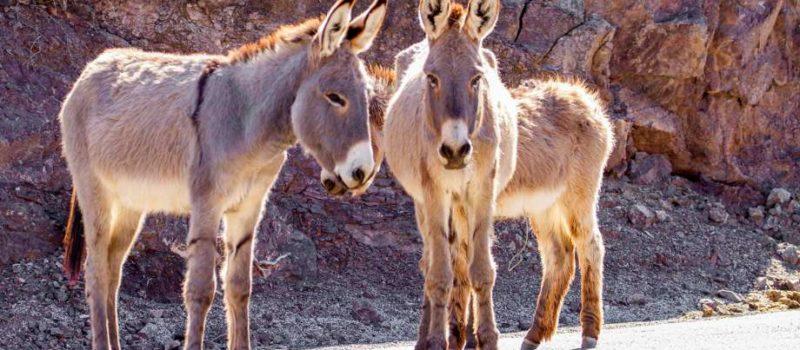 burros, california, shooting, reward, donkeys, dead