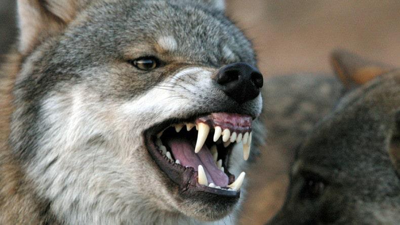wolf, attack, Banff, canada