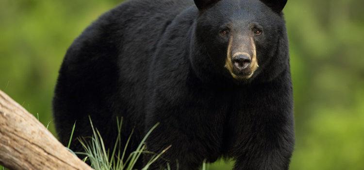 bear, aspen, colorado, attacks