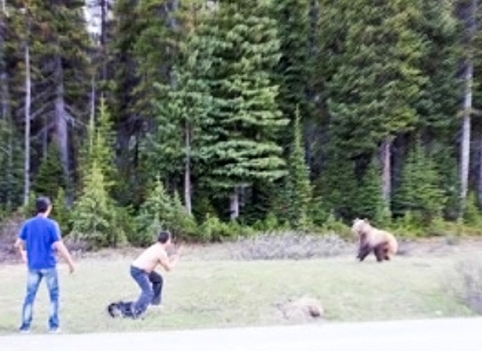 bear, grizzly, mans tries to fight bear, canada