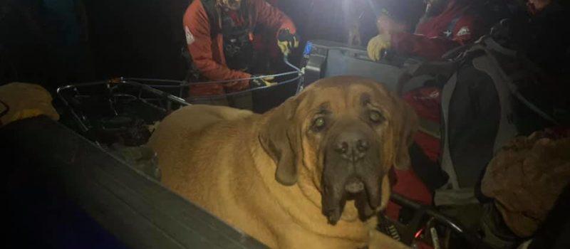 mastiff, rescue, utah, huge dog
