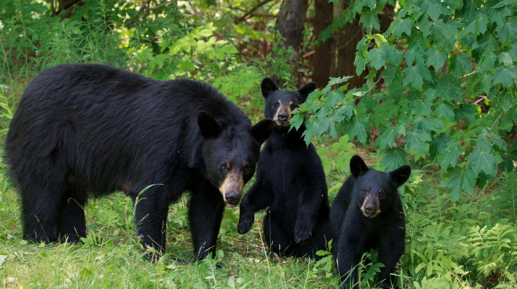 Black bears with cubs