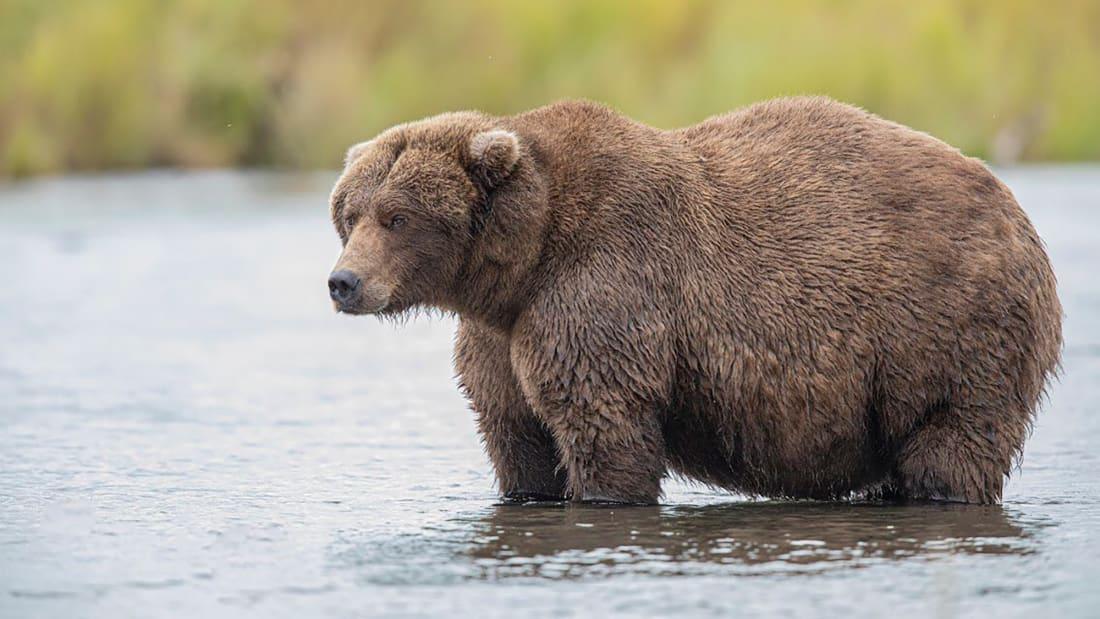 fat bear, Alaska,