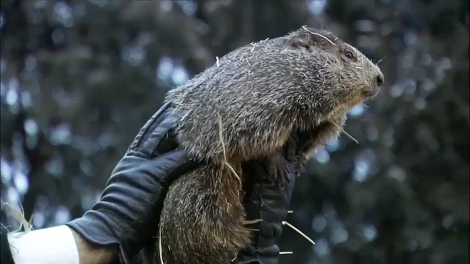 Punxsutawney Phil, Groundhog Day