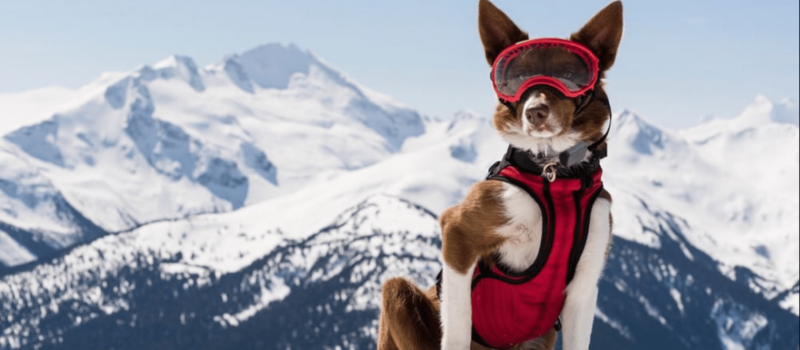 Soon you might see dogs on ski hills alongside their owners!