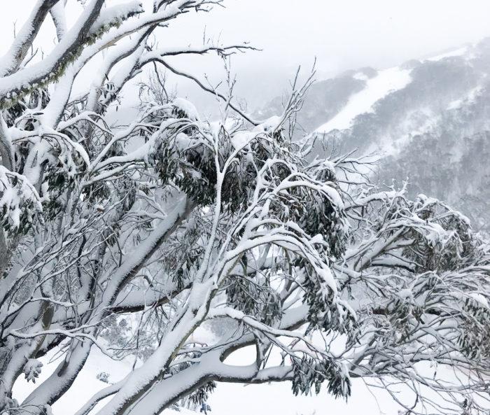 Australian Snowgum Trees