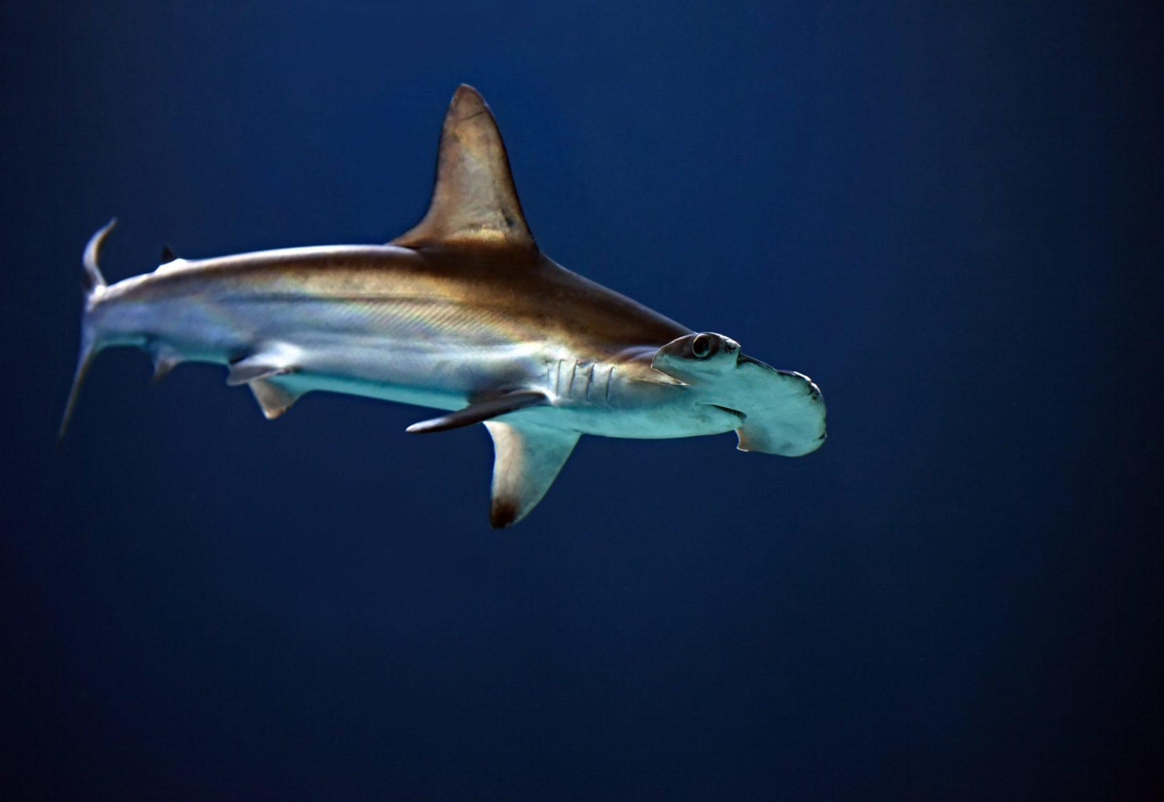 sharks living in volcano