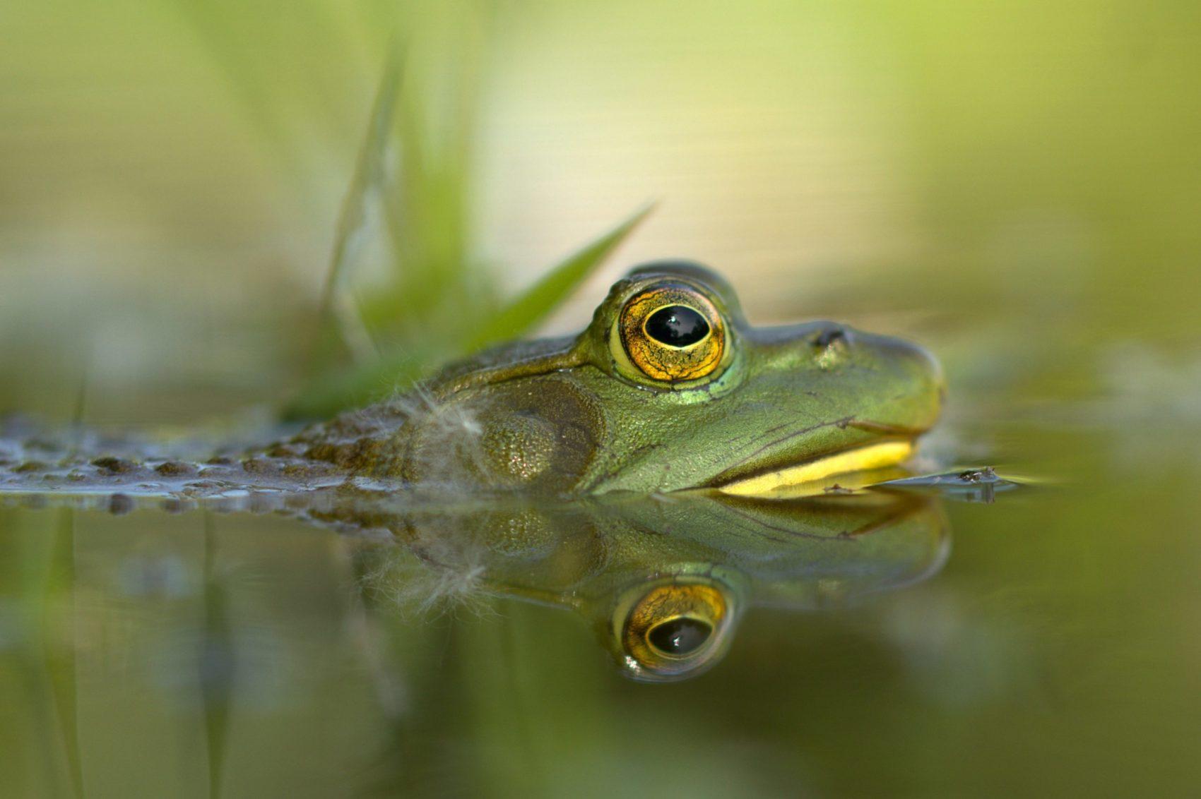 bullfrog for dinner