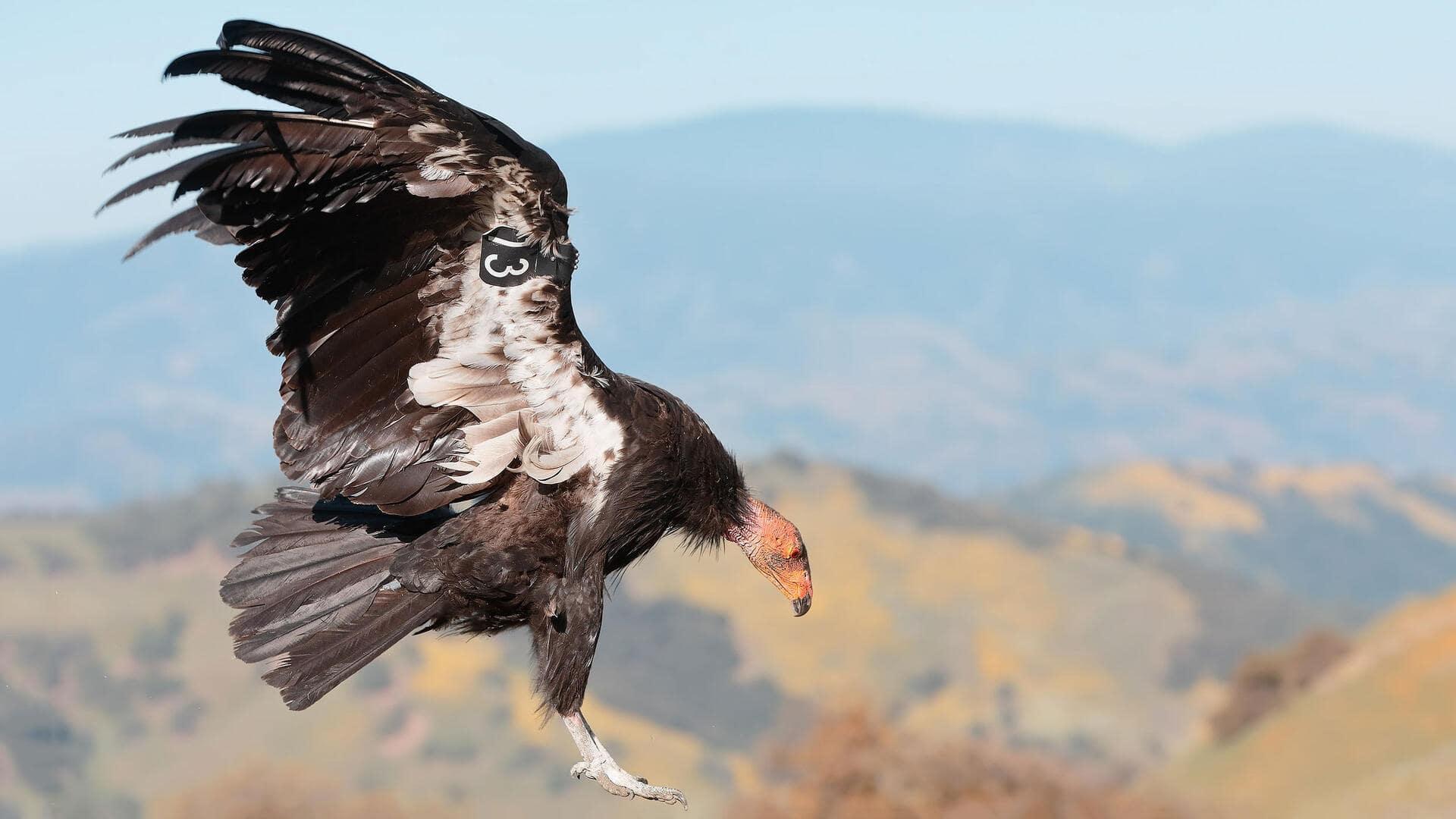 California Condor, Gymnogyps californianus, US