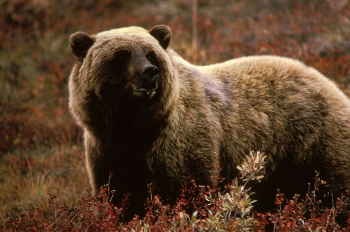 grizzly bear,