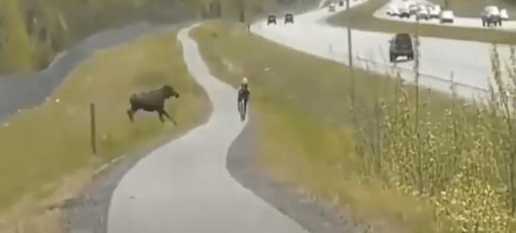 moose, attack, cyclist