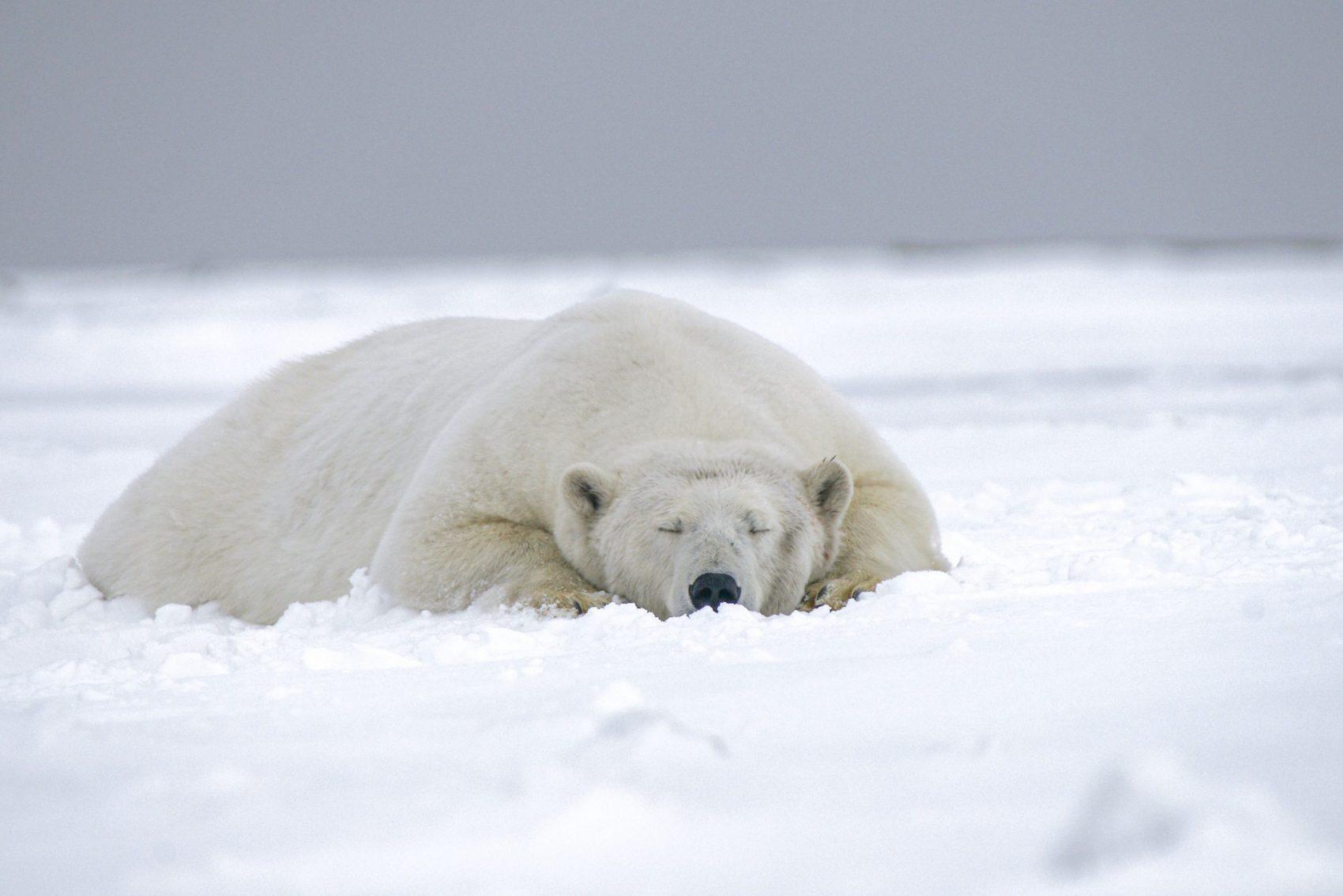 Polar Bear, Arctic, Fasting