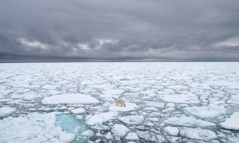 Polar Bear, Climate Change, Study, 2100